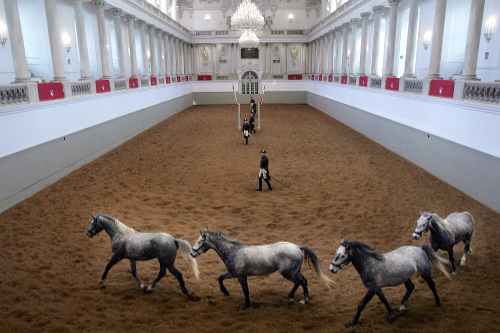 Fire grå Lippizaner-hester trener i en stor hvit hall med sand på gulvet.